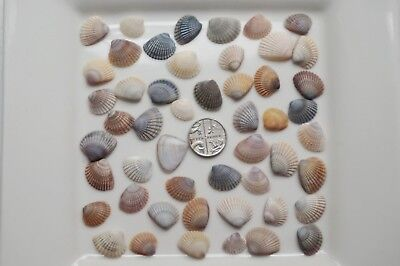 50 miniature Cockle Shells from Thailand, crafting , decorating
