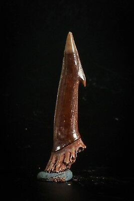 J015 - Well Preserved 1.92 Inch Onchopristis numidus Rostral Barb Cretaceous