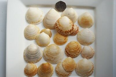 20 Very Large Sea Shells from Cornwall, crafting , decorating