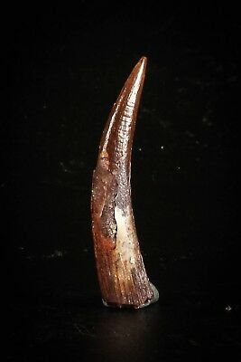J058 - Top Beautiful 1.14 Inch Pterosaur (Coloborhynchus) Tooth Cretaceous