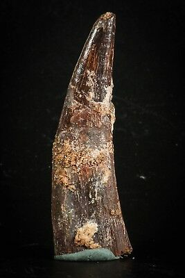 J060 - Top Huge 1.97 Inch Pterosaur (Coloborhynchus) Tooth Cretaceous