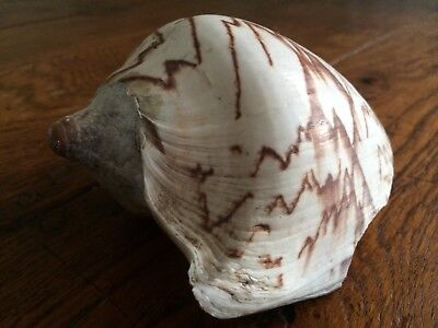 Large Zebra striped seashell slight damage -perfect for air plant display shell