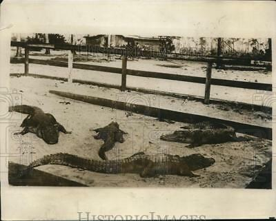 1928 Press Photo Alligators at Seminole Indian camp in Florida