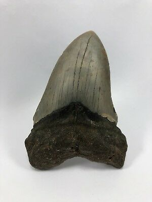 """4.25"""" MEGALODON Fossil Giant Shark Teeth All Natural Large Ocean Tooth (341)"""