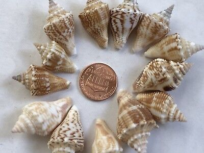 Lot of 12 juvenile fighting conch sea shells #79