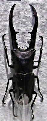 Staghorn Beetle Cyclommatus metallifer finae Black 50 mm Male FAST FROM USA