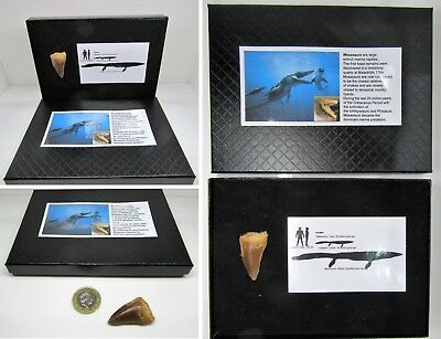 Large fossil mosasaurus tooth in gift display box for dinosaur & nature fans