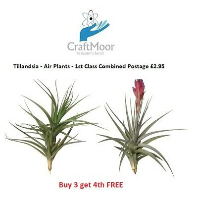 Air Plants - Tillandsia Airplants - Quality House Plants - Finest quality