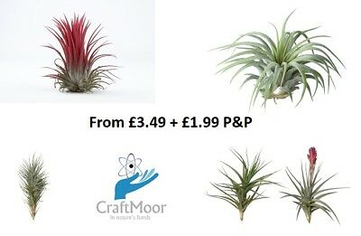 Air Plants, Quality House Plants - Finest quality - Indoor Plant, Office Plant
