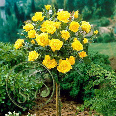 Seeds Stem Rose Yellow Bonsai Flowers Garden Trees Home Perennial Seeds 100 Pcs