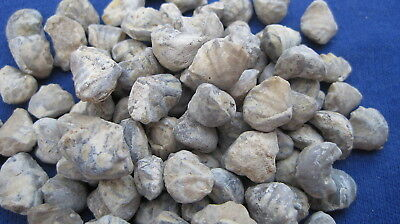 Lot Of 100 Fossil Brachiopods