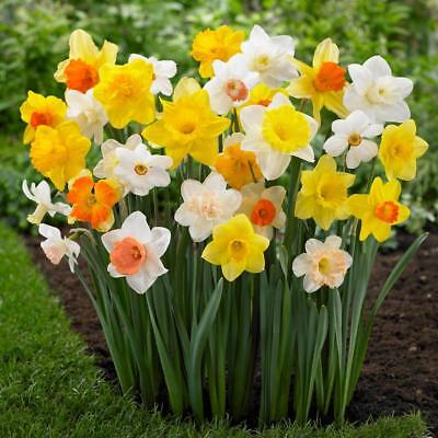 Bolly Bulbs® Tall Daffodils - Mixed Varieties - Qty:12/25/50/100