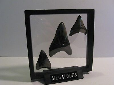 """6"""" Megalodon Shark Tooth Floating 6 1/8"""" Inside Display Stand Teeth Not Included"""