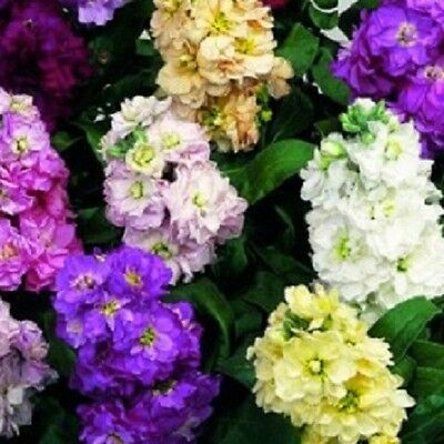 F0313 Matthiola Incana Scented Stock Giant Imperial Mix x50 seeds Cottage Garden