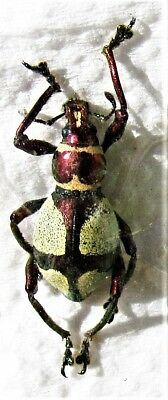 Uncommon Philippine Purple Cream Weevil Pachyrrhynchus amabilis FAST FROM USA