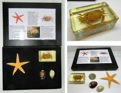 Marine sea life nature collection crab starfish in quality gift display box