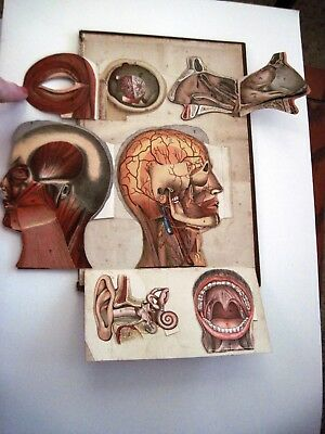 Vintage Medical Chart That Shows Head, Ear, Mouth, Nose & Eye In Detail