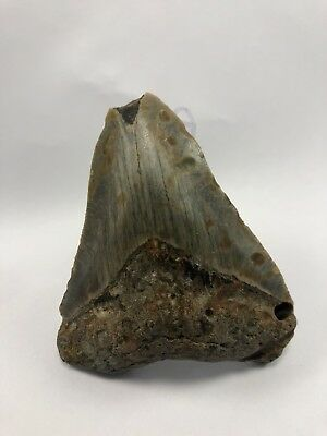 "3.77"" MEGALODON Fossil Giant Shark Teeth All Natural Large Ocean Tooth (292)"