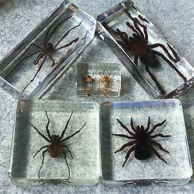 5 pcs Spider Collection Set In Clear Resin Block Education Real Insect Specimens