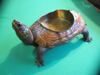 Antique Taxidermy Turtle - Victorian Era with Brass Dish inset - Outstanding !!!
