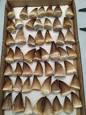Z7 - Top Collection of 52 Finest Quality PROGNATHODON ANCEPS (Mosasaur) Teeth