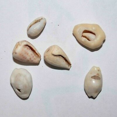 (9127) Lot of 6 Cowry shell money from Silk Road, Samarqand Soghd.