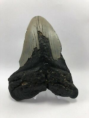 """5.19"""" MEGALODON Fossil Giant Shark Teeth All Natural Large Ocean Tooth (105)"""