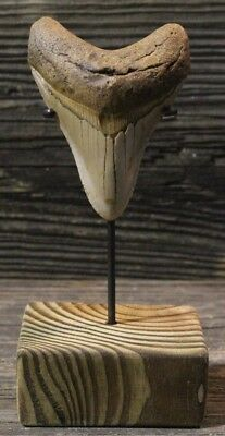"""Megalodon Shark Tooth 3.98"""" with Custom Stand/Extinct Fossil No Repair (WT3-114)"""