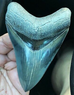 MUSEUM QUALITY Megalodon Shark Tooth Fossil. A Total GEM MEG!!!