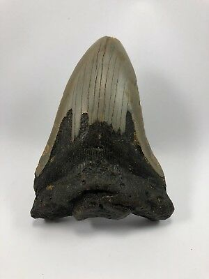 """4.65"""" MEGALODON Fossil Giant Shark Teeth All Natural Large Ocean Tooth (355)"""