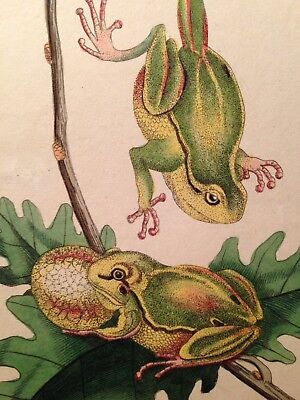 Antique Engraving Of Two Frogs Dated 1793