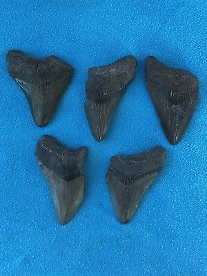 "Lot Of 5 Megalodon Tooth 2.335""-2.625"" Fossil Extinct Prehistoric Shark Teeth"
