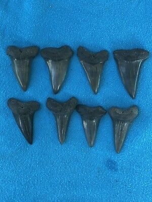 "Lot Of 8 Megalodon Tooth 1.762""-2.035"" Fossil Extinct Prehistoric Shark Teeth"