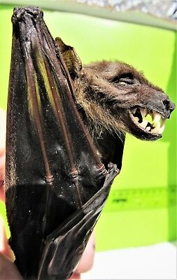 Greater Short-nosed Fruit Bat Cynopterus sphinx Hanging FAST FROM USA