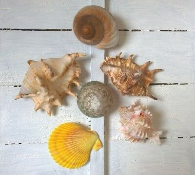 Assorted Mixed Seashells 6 Large Shells Lambis Murex Trocha Yellow Scallop Snail