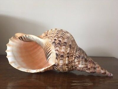 Very large Triton Trumpet Seashell, Charonia Tritonis 380mm