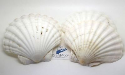 Large Natural Scallop Shells Washed Cleaned White 100% Natural UK Scallop Shell
