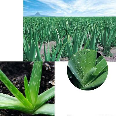100x Aloe Vera Seeds Edible Succulent Plant Rare Herbal Medicinal Vegetables hot