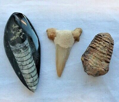 """Fossil Set - 3 X Different Fossils From Morocco """"Orthoceras, Trilobite, Otodus"""""""