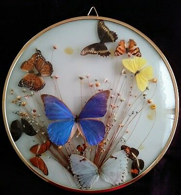 Real Butterfly Insect Glass domed  Framed Picture Wall Display set of 2