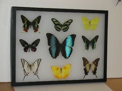 Real framed Butterfly collection #7