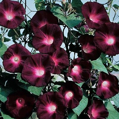 """Pack of 25 """"Black Knight"""" Morning Glory Seeds NEW 2018!"""