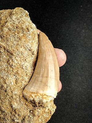 A46 - Top Quality 1.95 Inch MOSASAUR BEAUGEI Tooth in Natural Matrix Cretaceous
