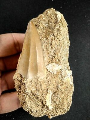 A47 - Top Quality 1.57 Inch MOSASAUR BEAUGEI Tooth in Natural Matrix Cretaceous