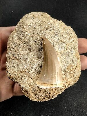 A48 - Top Quality 1.64 Inch MOSASAUR BEAUGEI Tooth in Natural Matrix Cretaceous