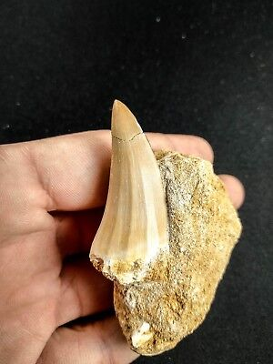 A51 - Top Quality 1.84 Inch MOSASAUR BEAUGEI Tooth in Natural Matrix Cretaceous