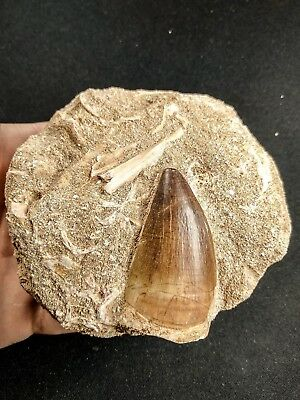 A59 - Museum Grade PROGNATHODON (Mosasaur) Tooth in Natural Matrix Cretaceous