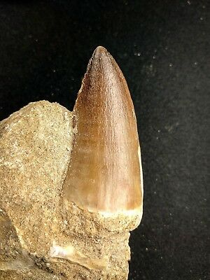 A62 - Museum Grade PROGNATHODON (Mosasaur) Tooth in Natural Matrix Cretaceous