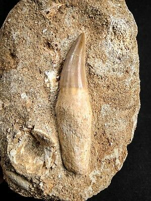 A66 - Top Rare EREMIASAURUS HETERODONTUS (Mosasaur) Rooted Tooth in Matrix