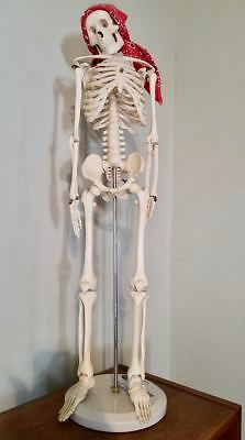 """ANATOMICAL HUMAN SKELETON MODEL - 32"""" WITH STAND - HALLOWEEN OR DR.'s OFFICE"""